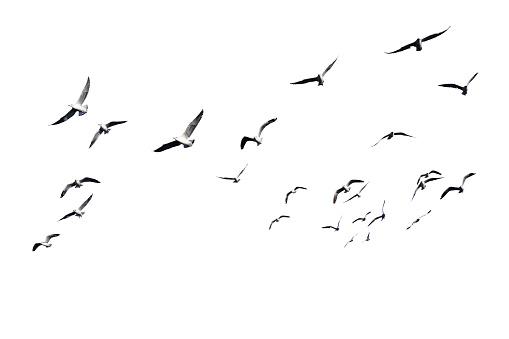 Flock of birds flying isolated on white background.