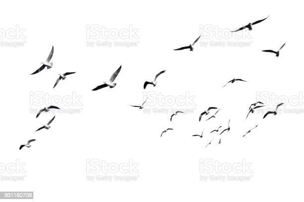 Photo of Flock of birds flying isolated on white background.
