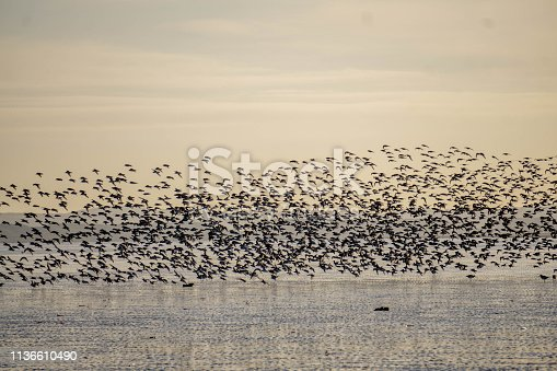 flock of birds flying over beach at sunset