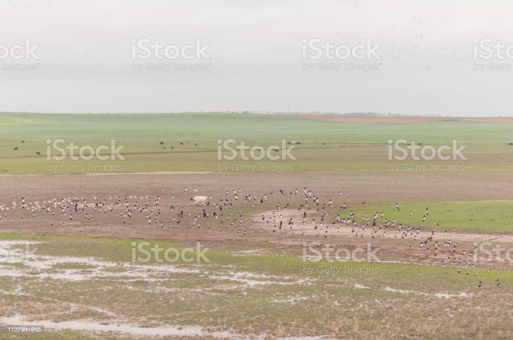 Flock of birds flying over lagoon stock photo
