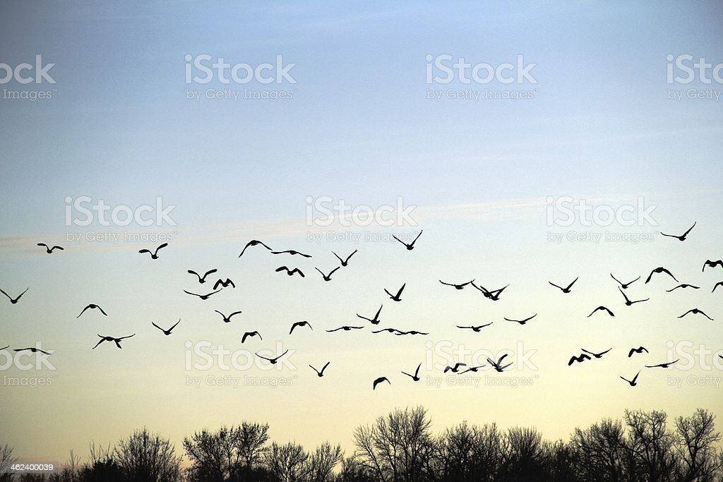 Flock of Birds Flying stock photo