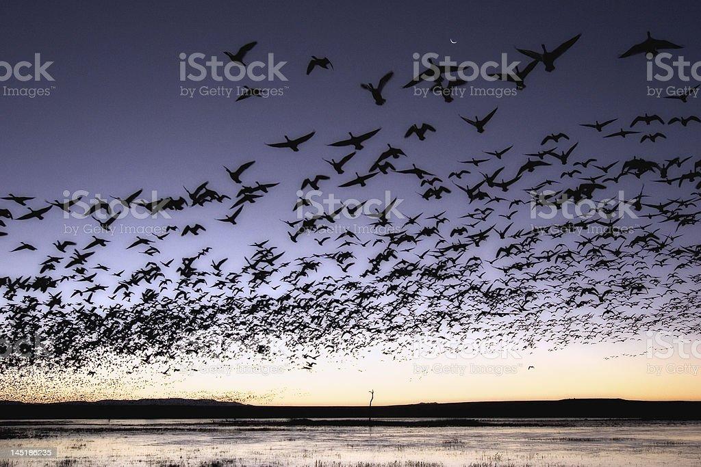 Flock of birds in flight in morning stock photo