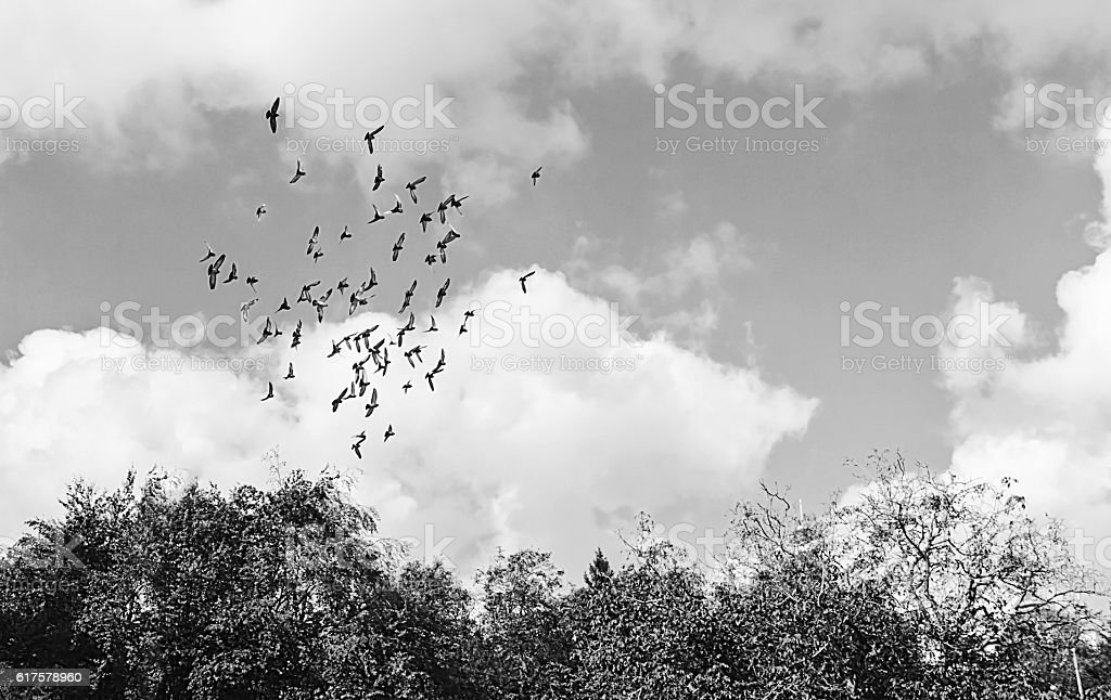 flock of birds in the sky in black and white stock photo