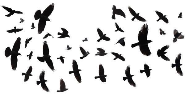 Flock of birds isolated picture id1070182460?b=1&k=6&m=1070182460&s=612x612&w=0&h= uastqh0 9cnj8lvtgaedoevaw8z0tx9cberqyorn5i=