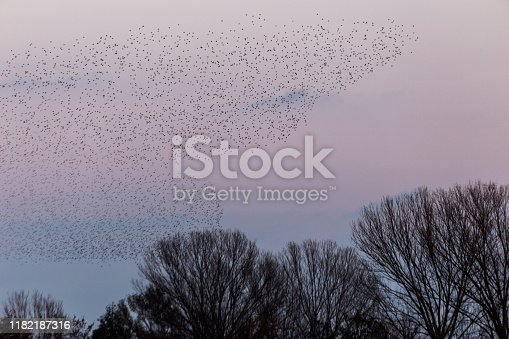 istock Flock of birds making a beautiful shape in the sky above some trees 1182187316