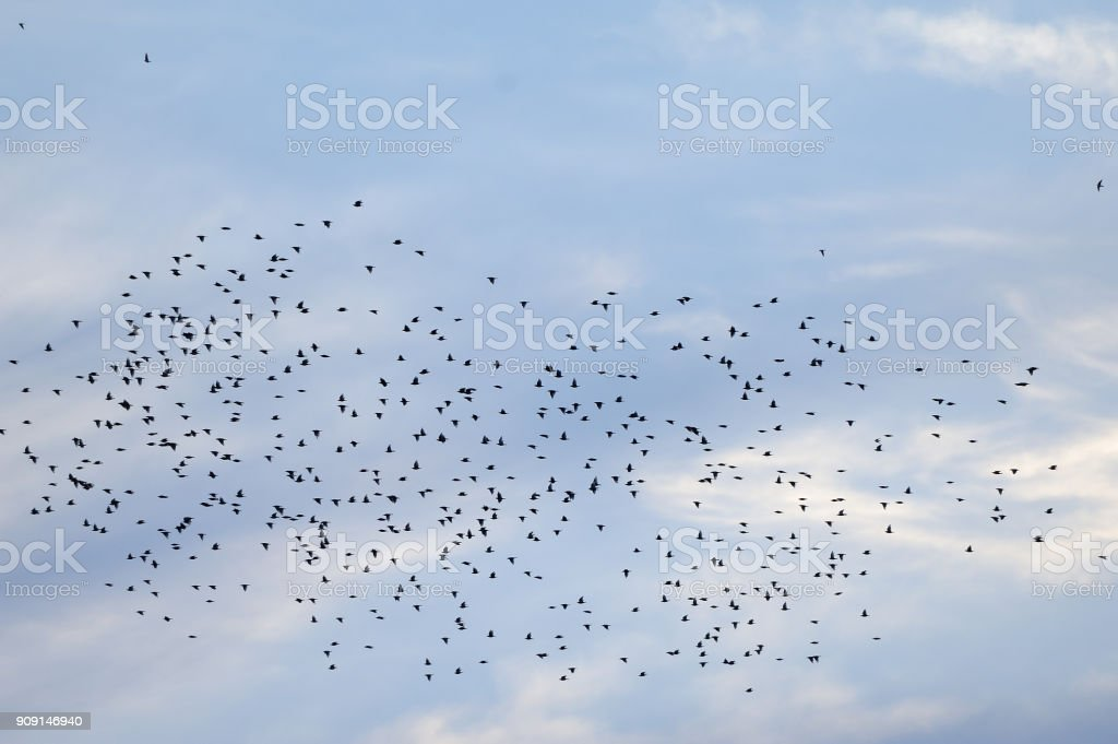 A flock of birds of black color stock photo