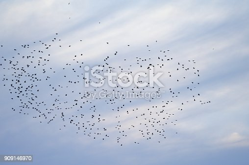 A flock of birds of black color against the background of the evening blue sky.