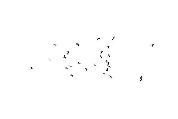 bandada de pájaros sobre un fondo blanco. para el diseño. bandada de pájaros aislados sobre fondo blanco. trazado de recorte. - pájaro fotografías e imágenes de stock