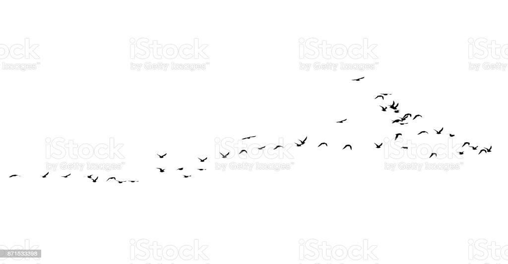 flock of birds on a white background stock photo