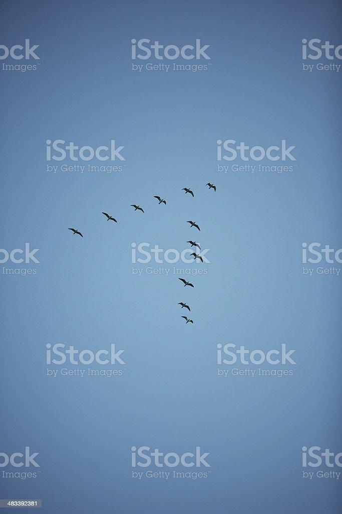 flock of birds on blue sky, forming a reverse V