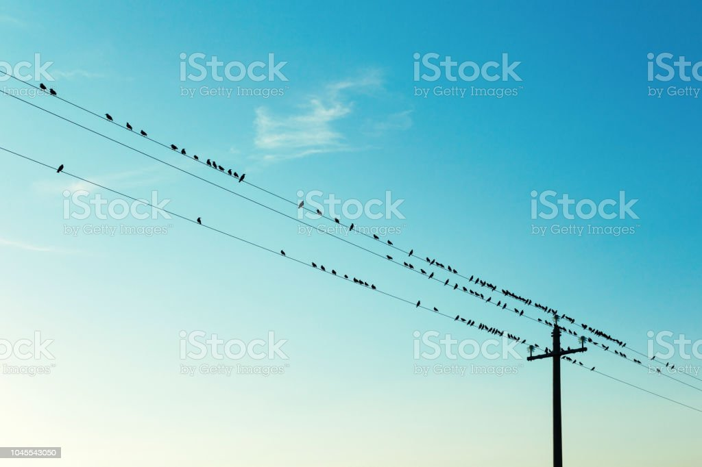 Flock of birds on electric cables, clear sky stock photo