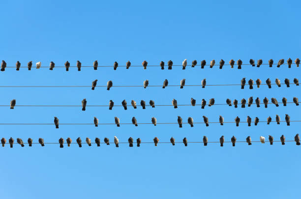 flock of birds on electric cables