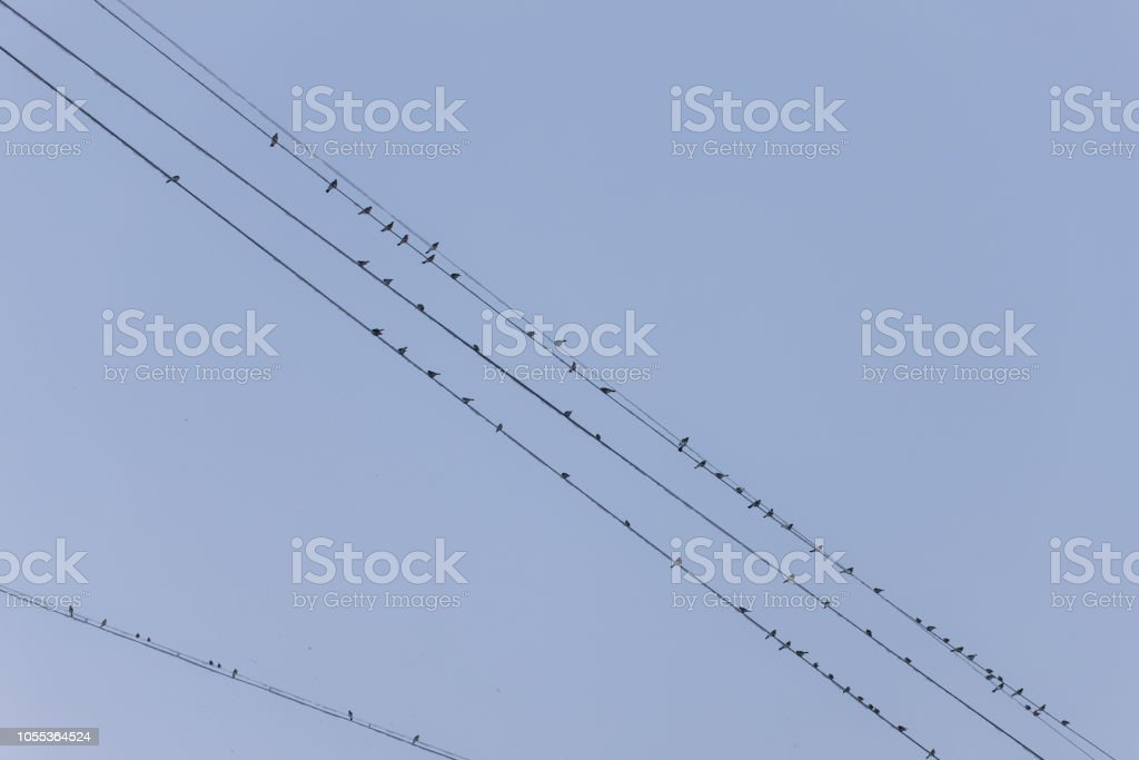 flock of birds on the wires in winter