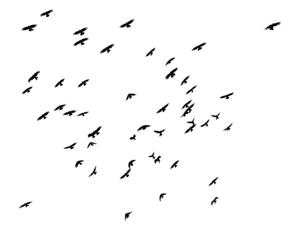 Flock of birds on white background isolated picture id866088058?b=1&k=6&m=866088058&s=612x612&w=0&h=x9fnlmkp7bptm81hudlte c9qnlgucguzk2s7w u1ly=