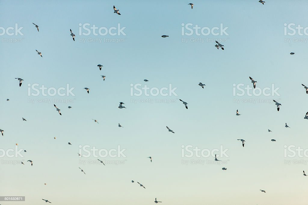 Flock of Birds royalty-free stock photo