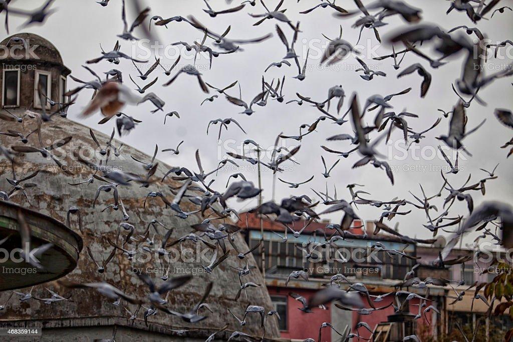 flock of birds, pigeons - stock photo royalty-free stock photo
