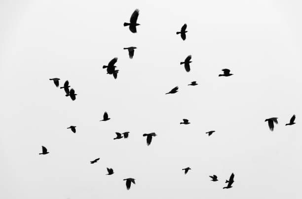 schwarm vögel raben fliegen in den himmel. schwarz / weiß foto. - saatkrähe stock-fotos und bilder