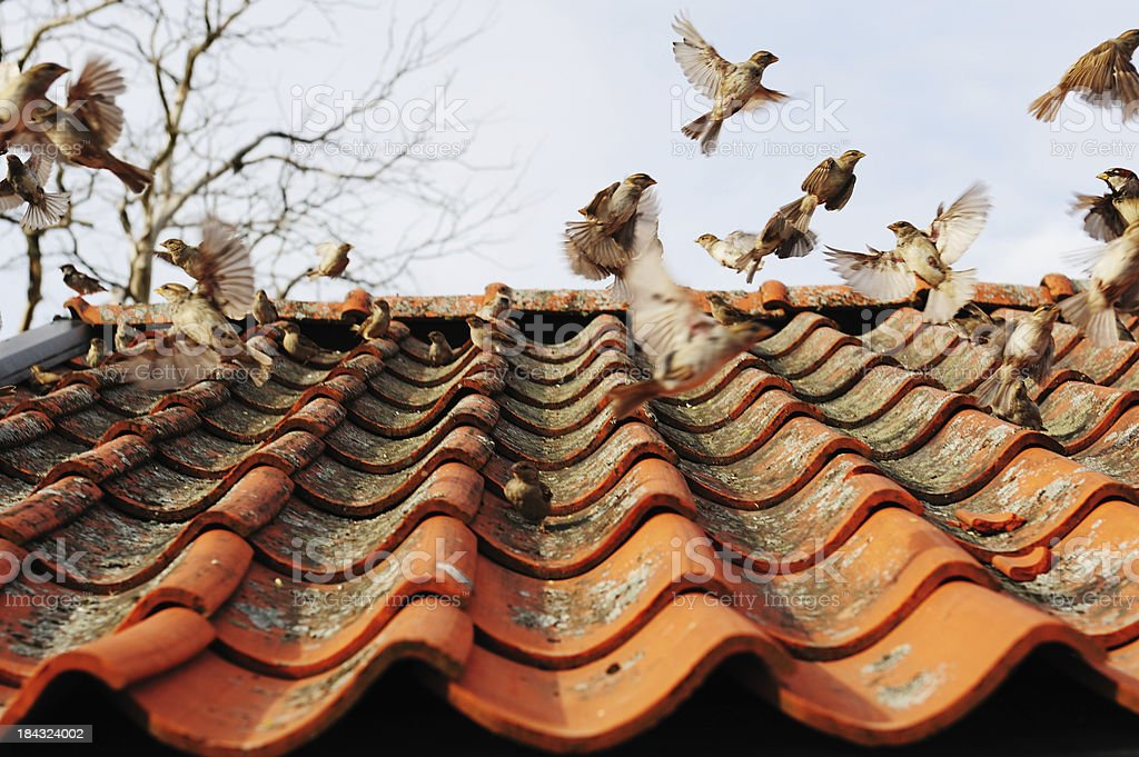 Flock of birds taking off from tiled roof stock photo