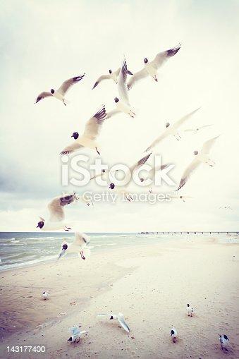 Black-headed gulls (Chroicocephalus ridibundus ) at the Baltic Sea .