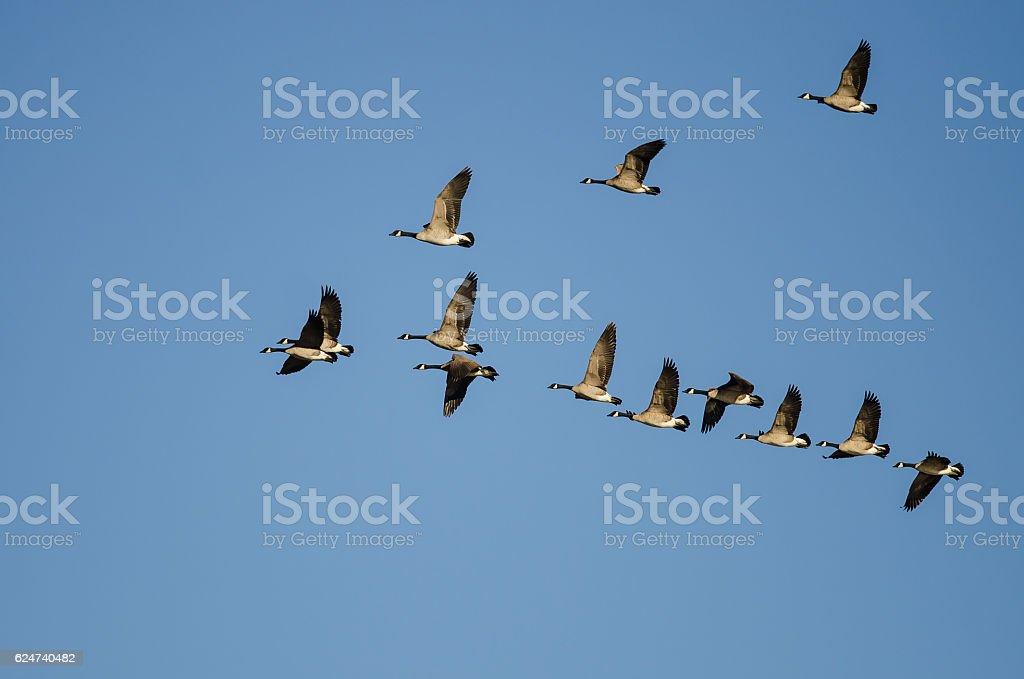 Troupeau d'oies du Canada voler dans un ciel bleu - Photo