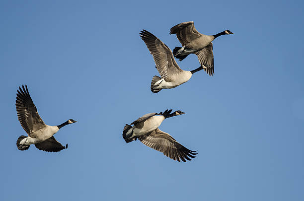 Flock of Canada Geese Flying in a Blue Sky Flock of Canada Geese Flying in a Blue Sky canada goose stock pictures, royalty-free photos & images