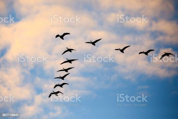 Flock of canada geese flying in a v formation in a november sky picture id652716842?b=1&k=6&m=652716842&s=612x612&h=9wtg2rs72nrjclghv3yiurs2fn58fbdzdukuxgwqt q=