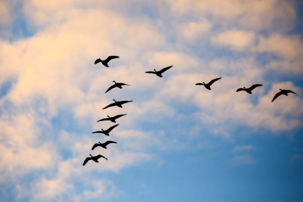 Flock of Canada geese (Branta canadensis) flying in a V formation in a November sky. Eleven Canada Geese flying overhead with blue sky and white clouds in a v formation during the migration. lake waterfowl stock pictures, royalty-free photos & images