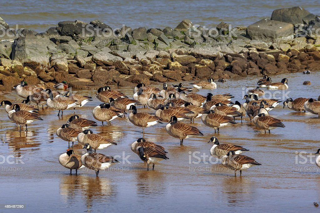 Flock of Canada Geese on Chesapeake Bay beach in Winter stock photo