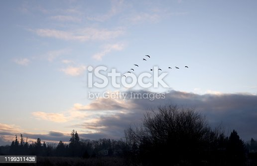Flock of 11 geese head east  above the Fraser Valley, British Columbia, on a winter morning.