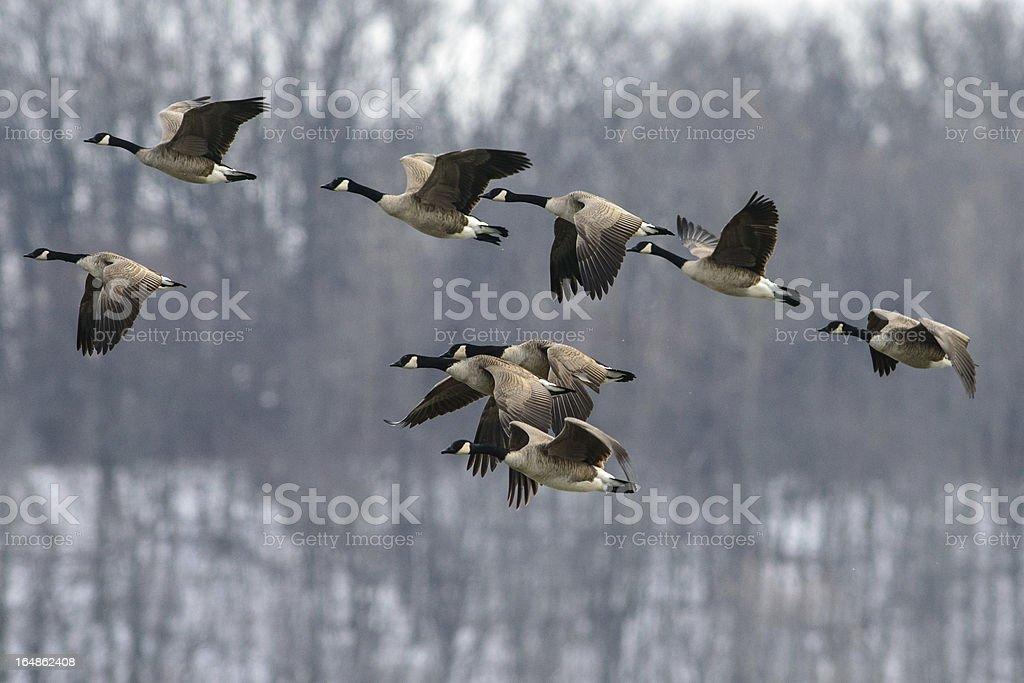 Troupeau d'oies du Canada - Photo