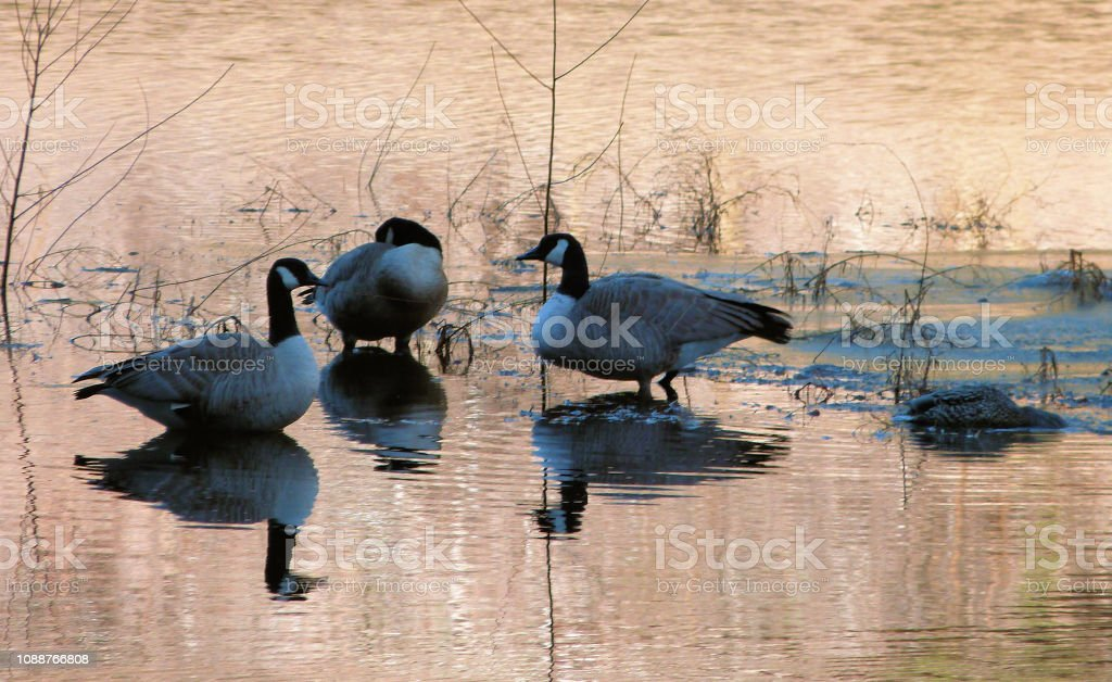 A small flock of Canada Geese standing in shallow lake water on a...