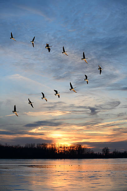 Flock of Canadian geese in V formation Flock of Canadian geese flying in V formation at sunset goose bird stock pictures, royalty-free photos & images