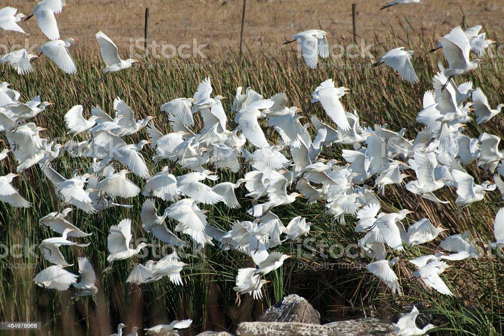 Flock of Catttle Egret stok fotoğrafı