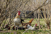 istock A flock of chickens roam freely in a lush green paddock 1223062067