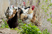 istock A flock of chickens roam freely in a lush green paddock 1225528555