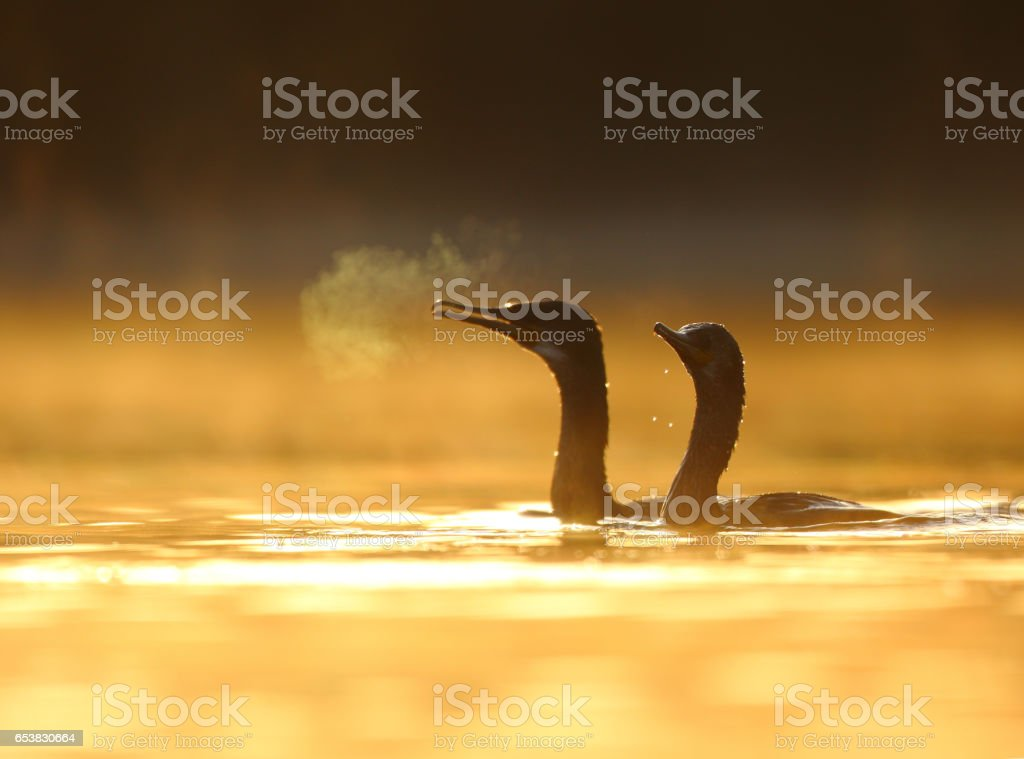 Flock of cormorant at sunrise stock photo
