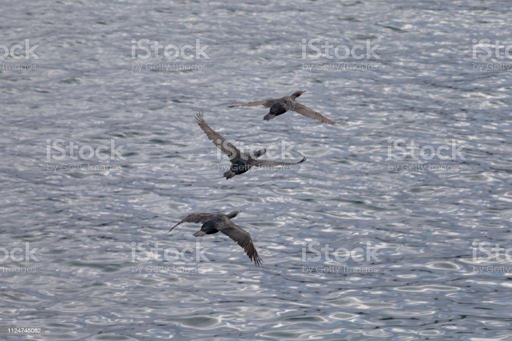 Flock of Cormorant Birds flying over the Pacific Ocean stock photo