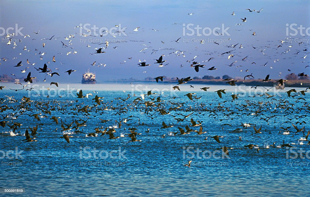 Flock of cormorants and gulls royalty-free stock photo