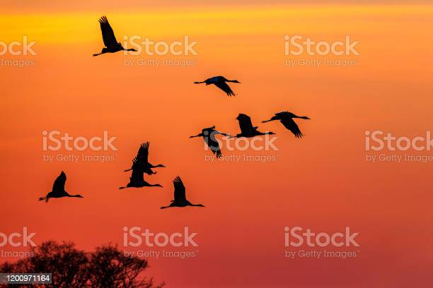 Photo of Flock of Cranes flying at dusk