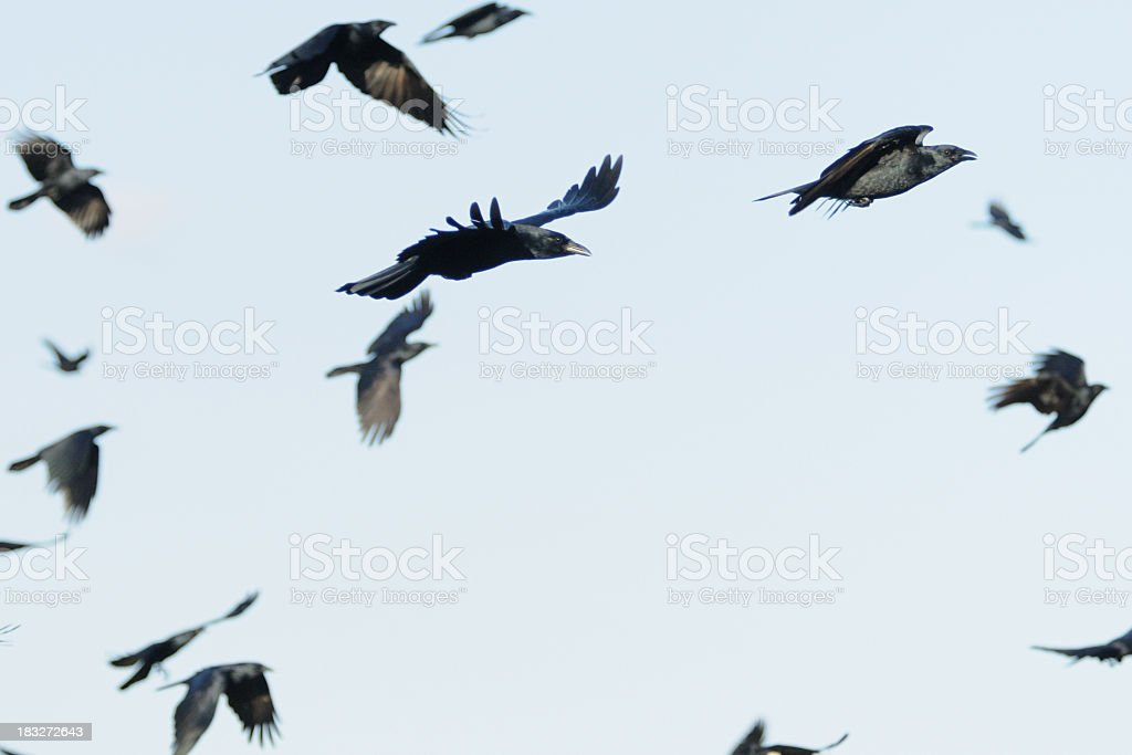 Flock of crows (Corvus ossifragus) flying royalty-free stock photo