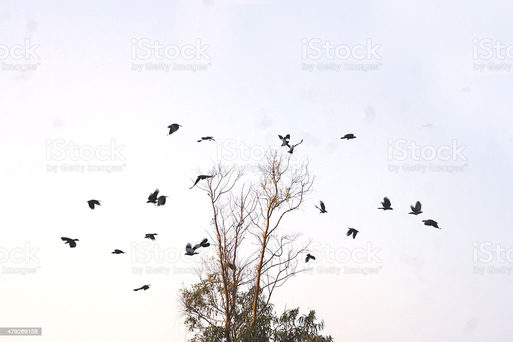 Flock of crows over tree stock photo