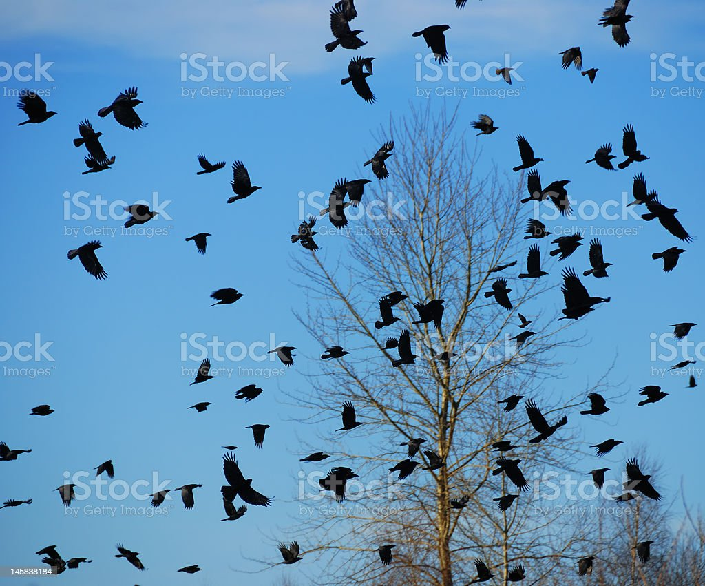 Flock of Crows stock photo