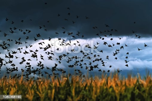 istock A flock of crows takes off over the field 1080368190