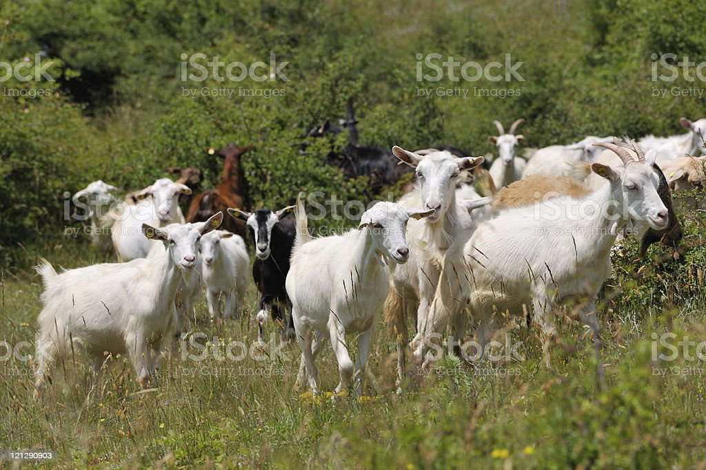 Flock of domestic goats stock photo