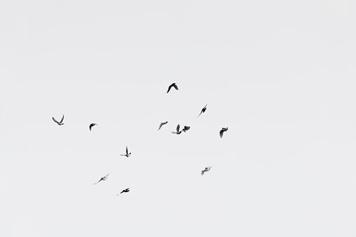 Flock of doves over white sky background