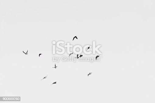Flock of doves over white sky background