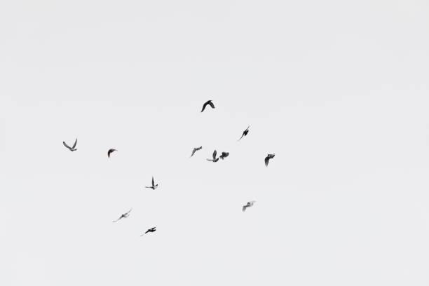 Flock of doves over white sky background picture id900669260?b=1&k=6&m=900669260&s=612x612&w=0&h=i9zz ryxheo972 tjze4rydk6mld8p1qzav2az0olb0=