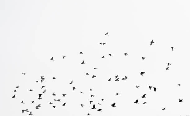 Flock of doves over white sky background Flock of doves over white sky background flock of birds stock pictures, royalty-free photos & images
