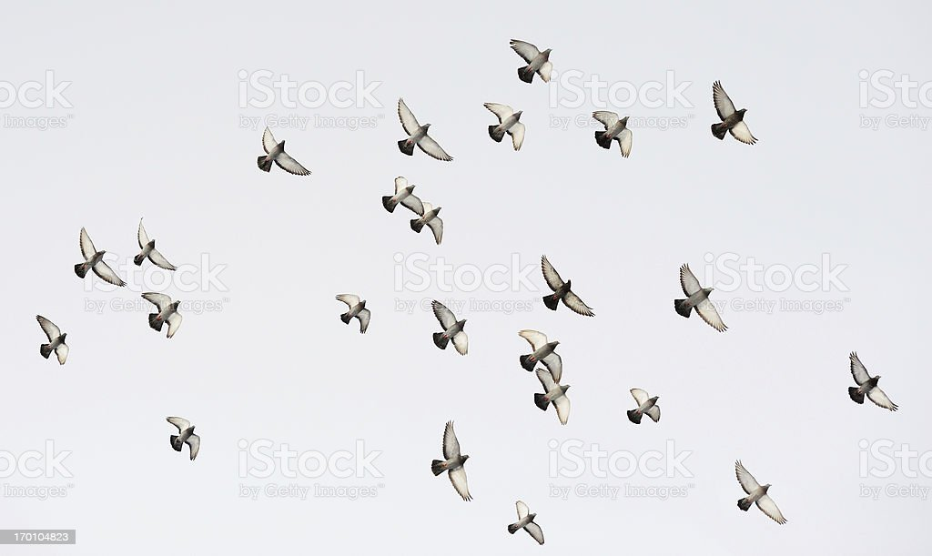 Flock of doves stock photo