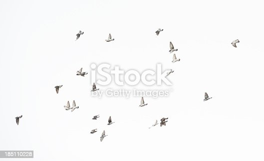 Sized flock of doves taking of and flying against clear sky.More birds